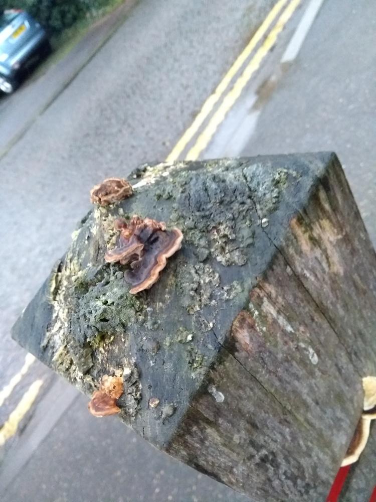 shows bracket fungus on urban bollard top